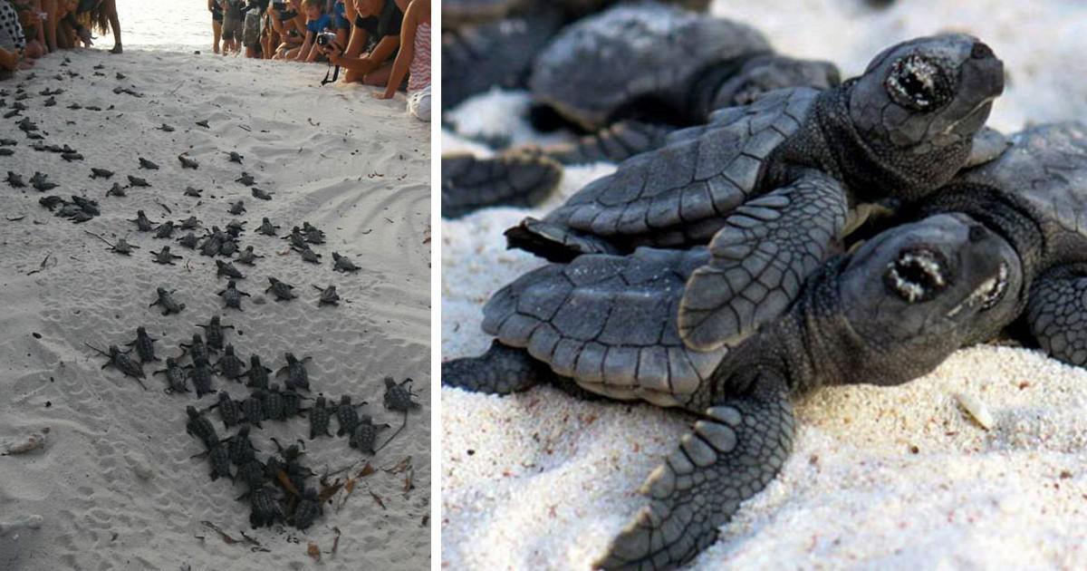 Εθελοντές σχηματίζουν ανθρώπινο τείχος για να βοηθήσουν νεογέννητες χελώνες να φτάσουν στη θάλασσα
