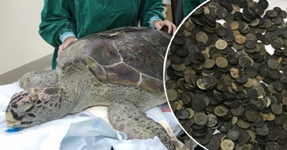 Θαλάσσια χελώνα δεν μπορούσε να κολυμπήσει επειδή είχε 915 κέρματα στο στομάχι της. Και ξέρετε πως βρέθηκαν εκεί