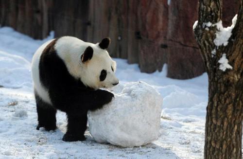 Γιγάντια πάντα βλέπουν για πρώτη φορά στη ζωή τους χιόνι και η συνέχεια είναι ακριβώς αυτό που φαντάζεστε