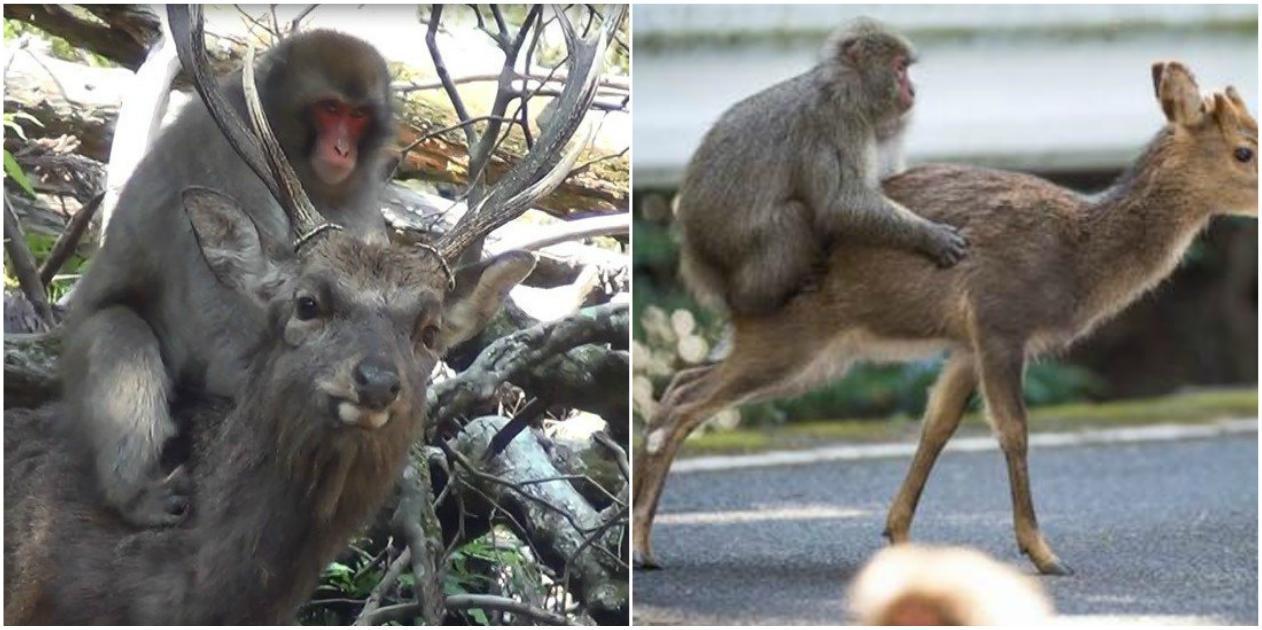Μαϊμού σεξ βίντεο