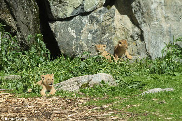 Kiara, Banzai and Kovu (pictured) were born in spring 2014 before being killed in the summer and autumn of 2015