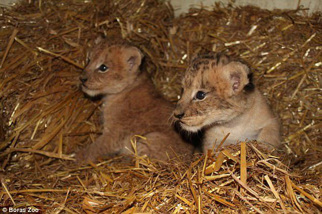 Two of the three cubs born in 2014 are pictured above just after their birth at the zoo.Borås Djurpark released the images along with its announcement of their birth