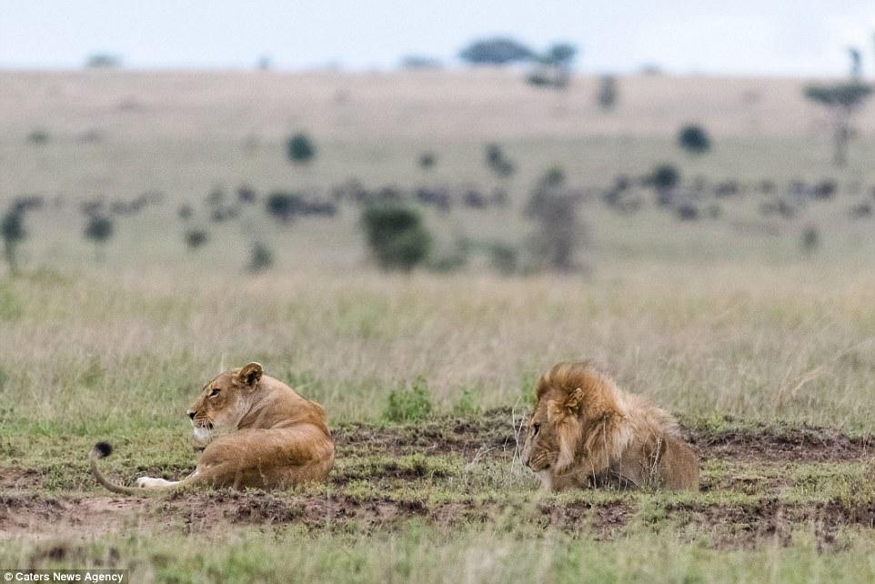 After the row, the male appears to get the silent treatment from the lioness. The pair had just finished mating when the argument began