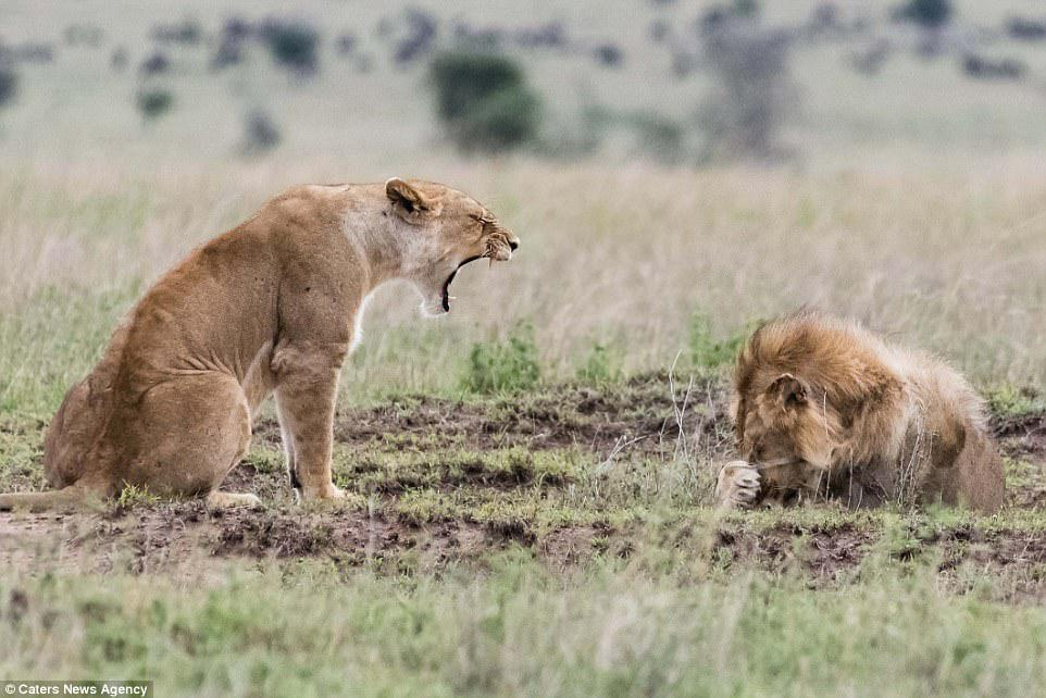 The lioness gave as good as the she got after initially being roared at, leaving the male lion in no doubt who was the boss