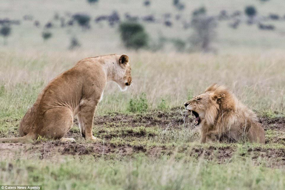 According to wildlife photographer George Hart the pair were definitely 'having a go at each other' and the argument appears to have begun with the lion roaring