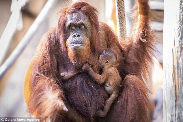 Ο ζωολογικός κήπος φιλοξενεί επί του παρόντος μια ομάδα επτά απειλουμένων με εξαφάνιση ουρακοτάγκων, και το μωρό είναι το δέκατο τέταρτο Bornean ορανγκουτάνος που γεννήθηκε εκεί