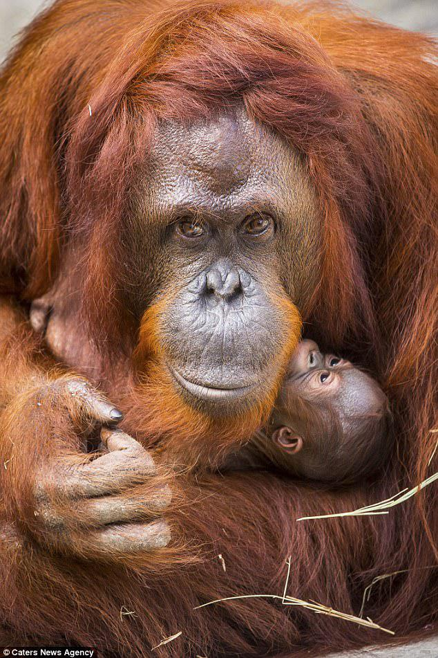"""Ο Δρ Ray Ball, ο οποίος εργάζεται στον ζωολογικό κήπο, δήλωσε: «Η Dee Dee συνεχίζει να κάνει καλά με το θηλυκό μωρό της. Ως έμπειρη μητέρα, δεν έδειξε κανένα σημάδι για πιθανά προβλήματα """""""