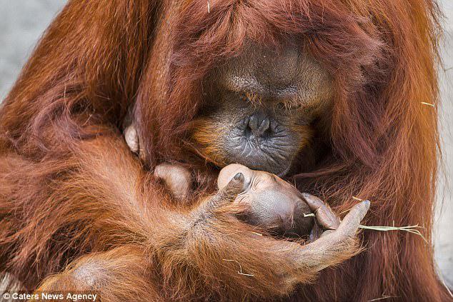 Αυτή είναι η τρυφερή στιγμή που ένας σπάνιος ριγκουτάνος της Βόρνειας κλίνει για να φιλήσει το νεογέννητο μωρό της στο Tampa's Lowry Park Zoo στη Φλόριντα