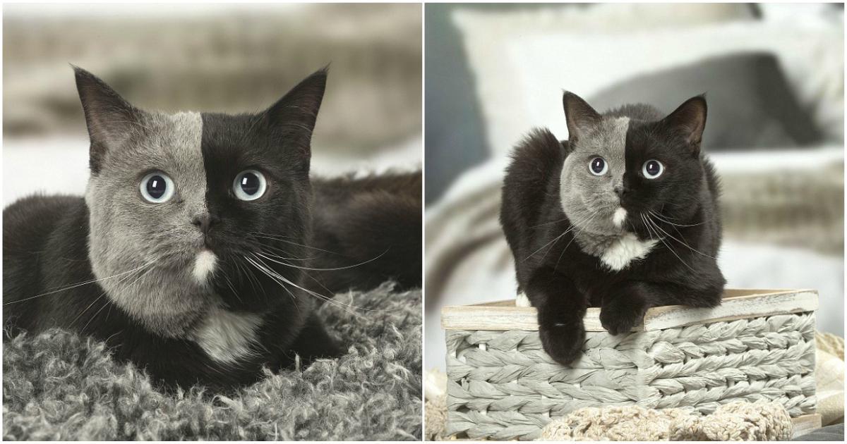 Γάτα έχει ένα τέλειο χώρισμα στο πρόσωπό της ανάμεσα στο μαύρο και γκρι τρίχωμά της