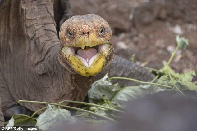 Diego is definitely the alpha male among the three male tortoises of his species which were tasked with repopulating Espanola