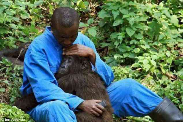 A zoo keeper comforts an orphaned gorilla with a hug after it lost its parents