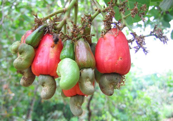 perierga.gr - Εσείς γνωρίζατε πώς φυτρώνουν τα κάσιους;