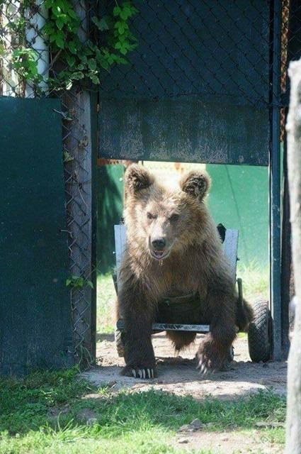 Ο Β. Τζιγκούρας σε συνεργασία με τον Αρκτούρο έφτιαξε αμαξίδιο και για μια αρκούδα