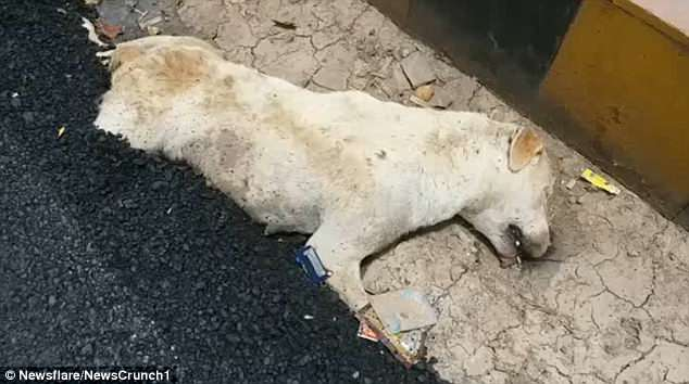 The crew left the half-buried animal on the road before it was spotted by shocked commuters on the morning of June 13 - still clinging to life with its hind legs trapped in the freshly-laid tar