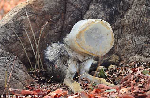 Heartbreaking: The container is a common type, often used to keep food, and it is likely the wolf got its head stuck looking for a treat inside it