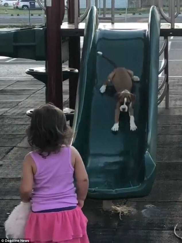 LittleEvelyn Trevino (pictured), from Kennewick in Washington state, was playing with her boxer puppy Franny when she decided to teach her canine companion how to use the slide