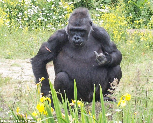 The ape seemed to recognise the positive response his actions were getting and Ben said: 'he carried on doing it for quite a while... it was so funny'