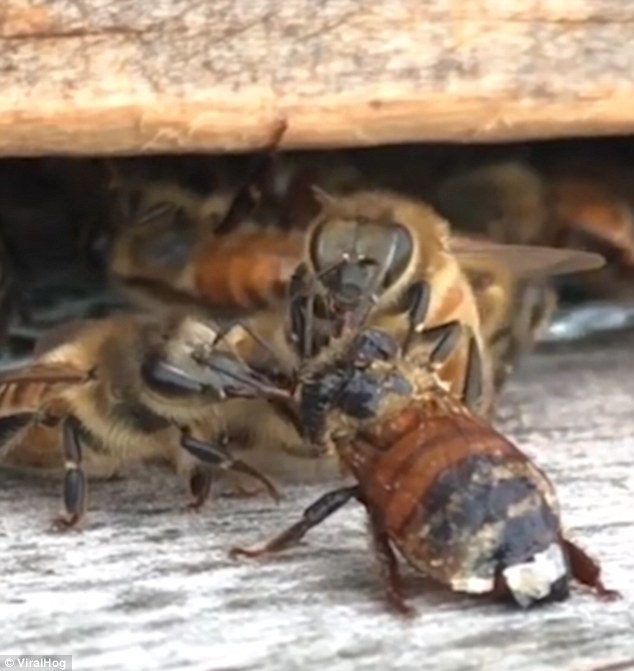 The kindly bees came out their hive and spent the next thirty minutes cleaning, and it was all filmed by the beekeeper