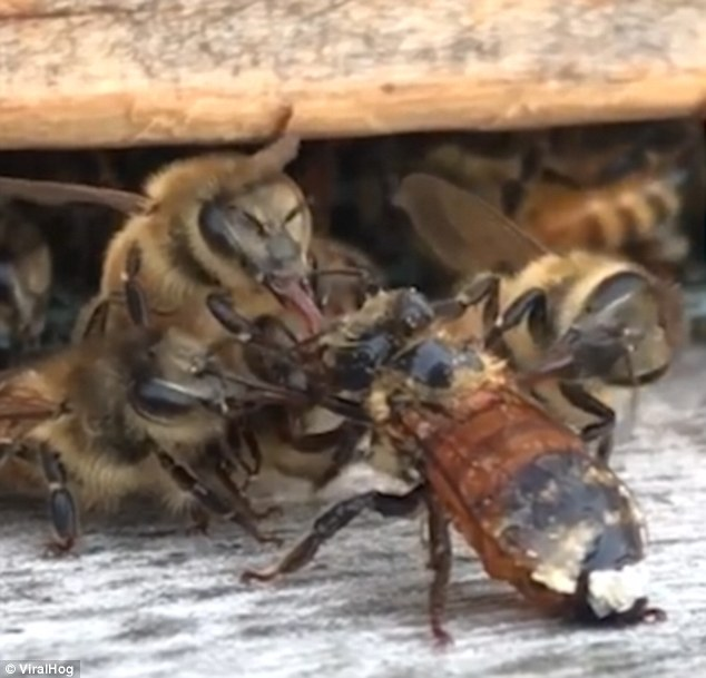 The small swarm rally round the poor bee and diligently start cleaning it so it can make a full recovery