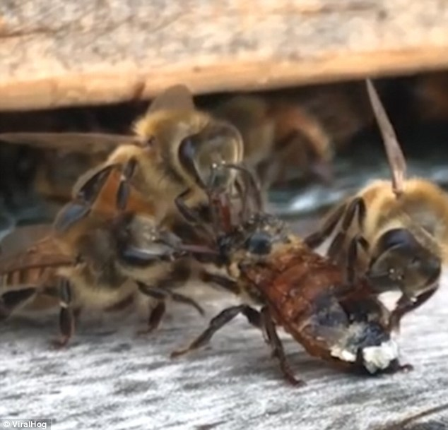 The kindly bees came out their hive and spent the next thirty minutes cleaning up their messy comrade