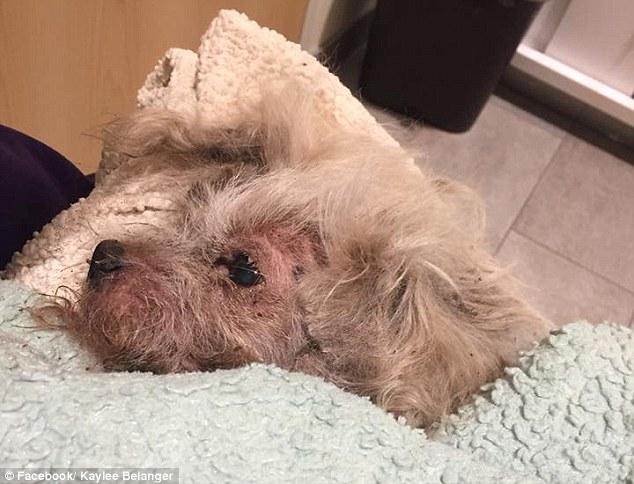 Ο Piquard δήθεν έθαψε τον Chico, έναν 17χρονο σκύλο Shih Tzu, ζωντανό. Ο σκύλος έπρεπε να τεθεί κάτω
