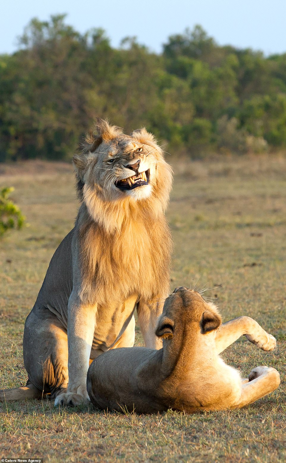 The lion bears its teeth as it sits at the rear of the lioness on the grassy plains of the Maasai Mara National Reserve in Kenya; although mating itself takes only a few seconds, it is repeated about every 20 minutes