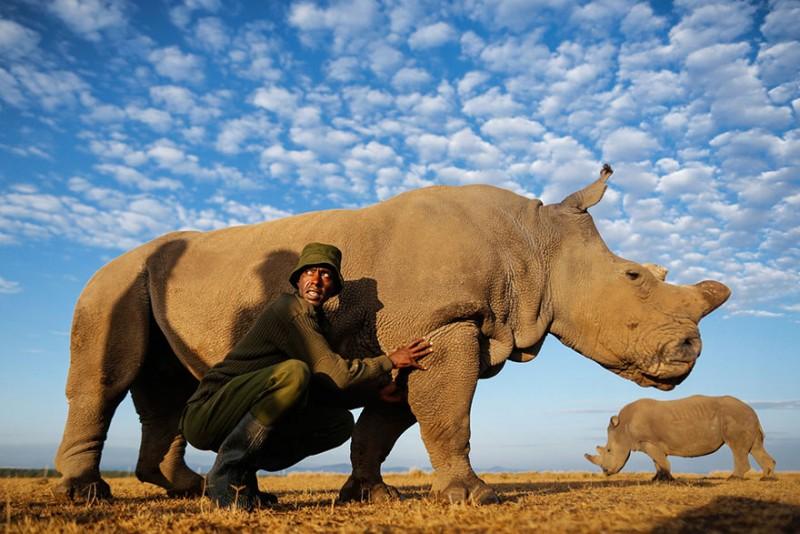 Υπό ένοπλη προστασία ο τελευταίος λευκός αρσενικός ρινόκερος του πλάνητη! - Εικόνα2