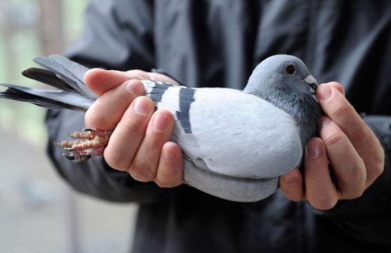 Συνελήφθη περιστέρι «βαποράκι»που μετέφερε εκατοντάδες χάπια έκσταση - Εικόνα 4