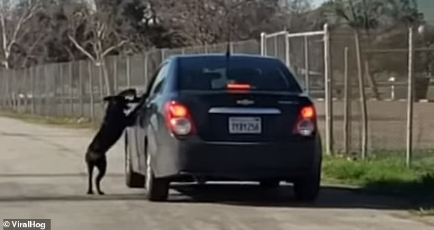When the dog refuses to leave his side, the man walks back to his car and gets behind the wheel as the pet jumps on the driver's side door, trying to get in