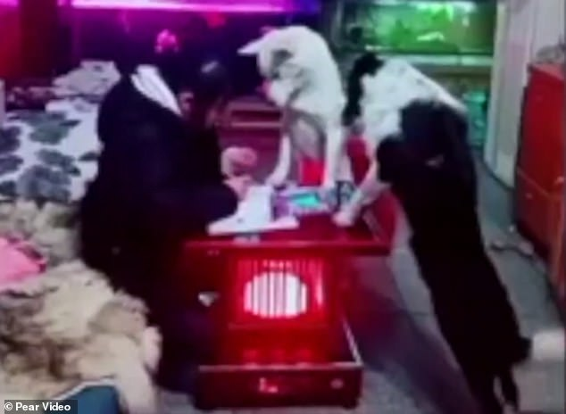 The man decided to train their pet mongrel to 'supervise' the school girl while she writes her homework at their home in Guizhou province as she wouldn't stop looking at her phone