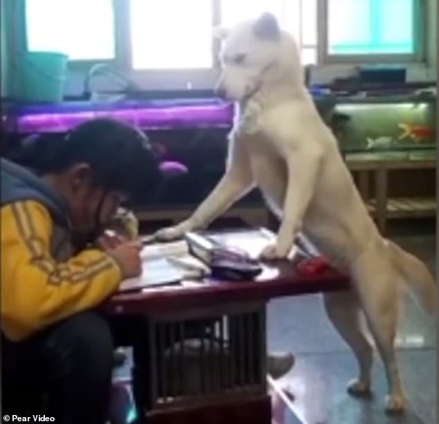 Adorable footage shows the cream-coloured pooch standing on its hind legs, hovering strictly over the schoolgirl as she completes her assignments on a coffee table at home in Guiyang