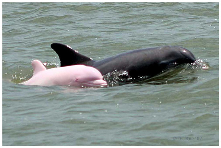 A Rare Pink Dolphin Has a Baby, and Now the Chance of Seeing More of Them Is Growing