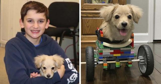 1Joven crea silla de ruedas con piezas de Lego para perrita sin patas