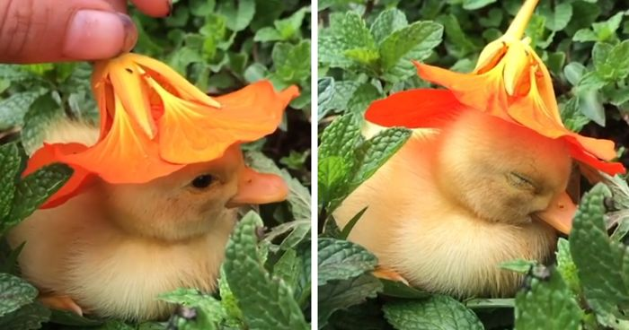 baby duck falling asleep with flower on head fb16 png 700